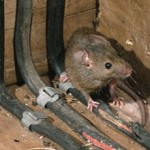 Rats Chewing On Wires