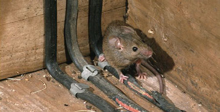 5 Common Signs Of A Rat Infestation