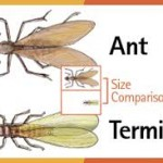 Flying Ants And Flying Termites