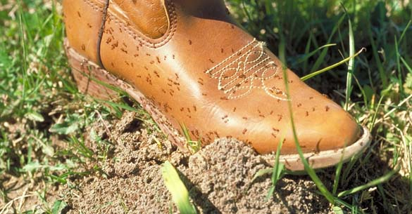 Fire Ants On My Boots