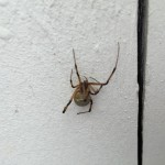 California Brown Widow Spider Pictures