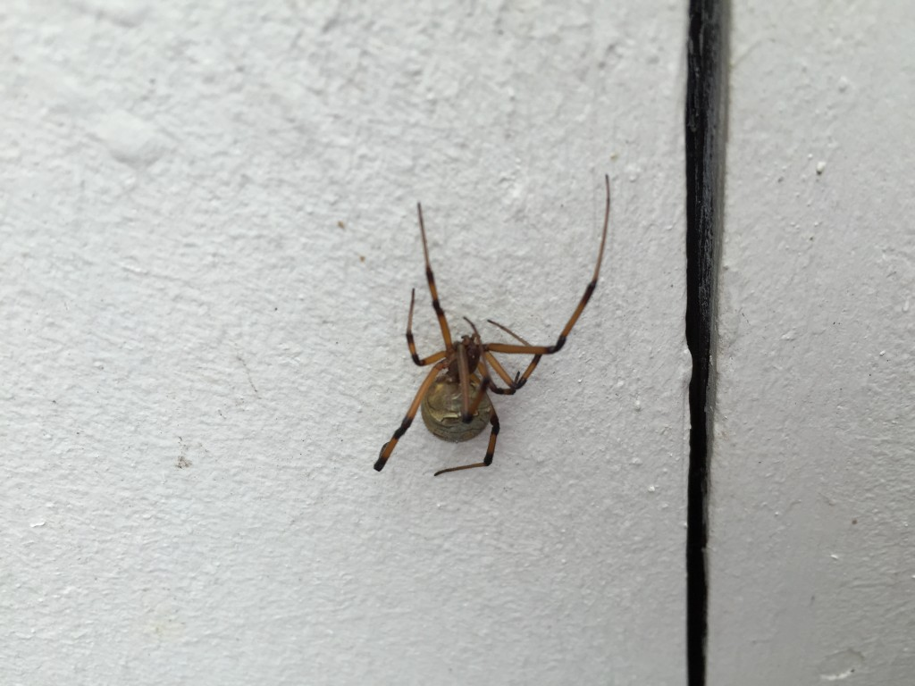 Picture of Brown Widow