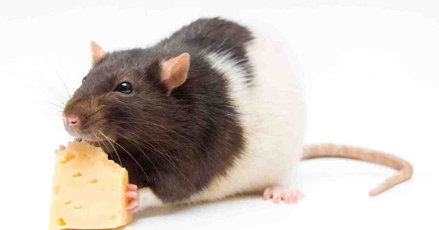 rodent-control-rat-and-cheese