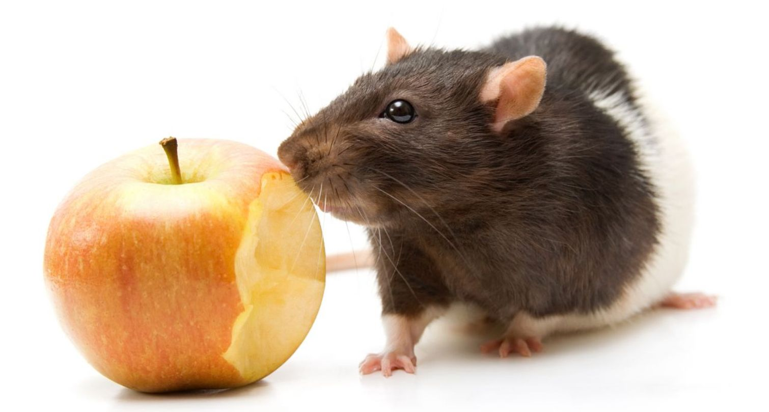rodent-control-rat-and-fruit