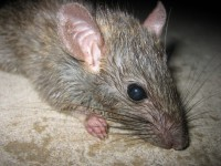 Rodent Removal Carlsbad CA