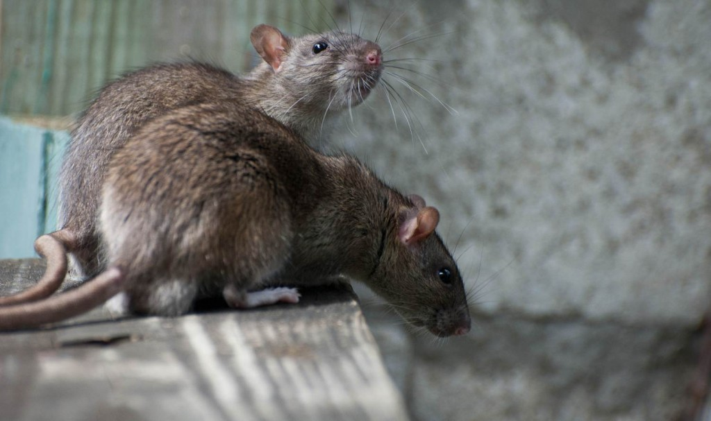5 effective diy rat control methods however if you have a huge rodent infestation issue in your house it is recommended to contact rodent control experts as soon as possible solutioingenieria Images