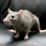 most effective rodent contro methods