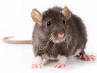 Rodent Removal Redondo Beach CA
