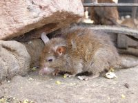 Rodent Removal Rancho Palos Verdes CA