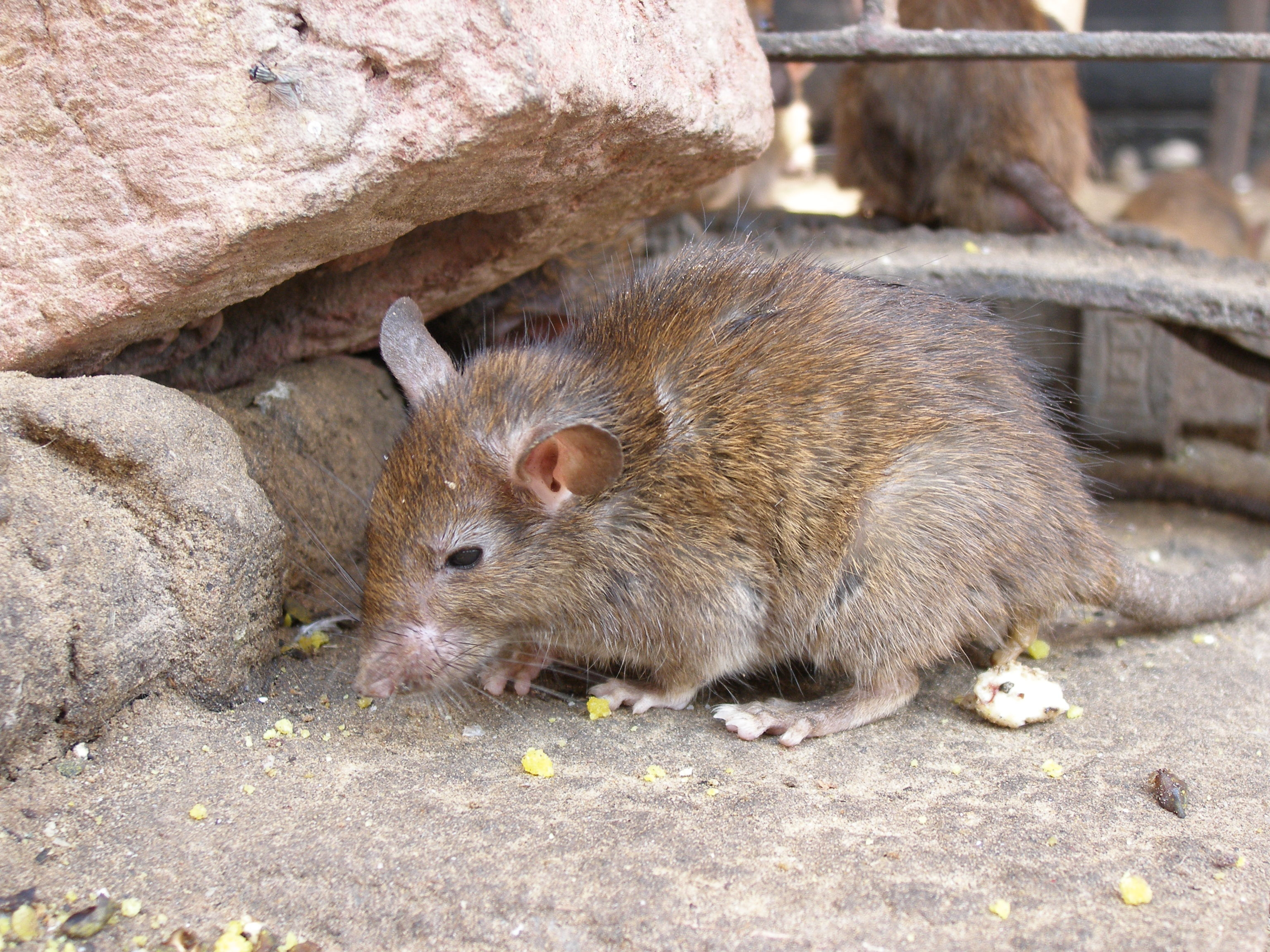 Rodent Removal Huntington Beach CA