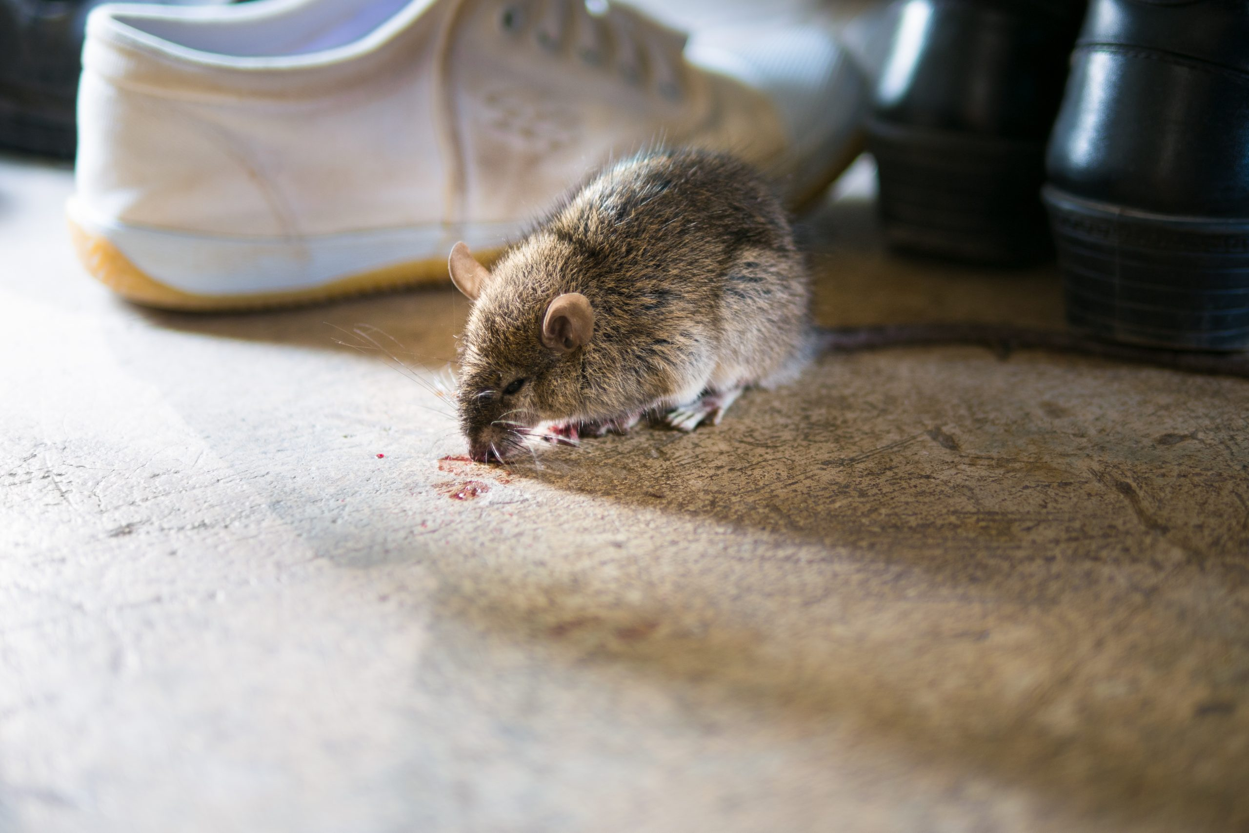 Rodent Removal Hermosa Beach CA