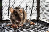 Rodent Removal Los Angeles CA