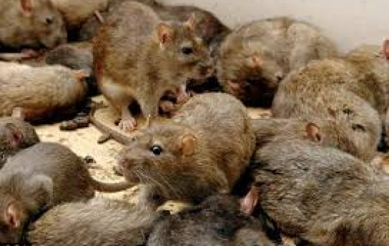 Try These Approaches Before You Call the Rat Exterminator