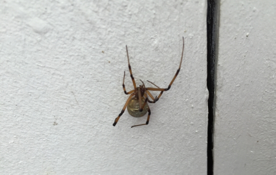 California Brown Widow Spider