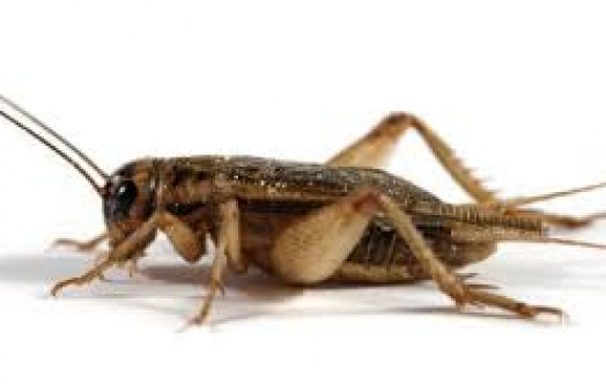 Funny Story About Crickets