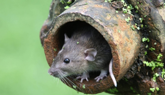 Rodent Control – 5 DIY Rodent Exclusion Tips From A Pro