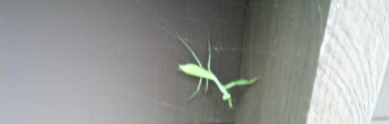 Southern California Praying Mantis Video