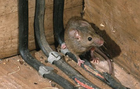 Common Signs Of A Rat Infestation