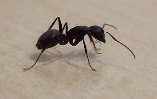 Ants Everywhere? They Could Be Carpenter Ants