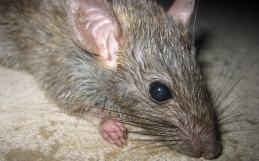 5 Effective DIY Rat Control Methods
