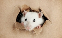 Rat Control: Shocking Ways Rats Can Enter Buildings