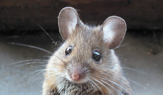 Rodent Control: 5 DIY Ways to Trap Mice