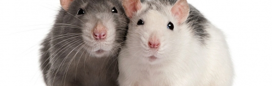 Rodent Control – 5 Sure Fire Signs You Have Rats