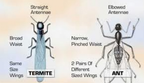 What Does a Termite Look Like? A Handy Guide to Telling Them Apart from Ants